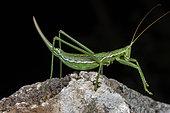 Predatory Bush Cricket (Saga pedo) on black background, Saint-Jean-de-Buèges, Hérault, France.