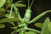 Predatory Bush Cricket (Saga pedo) portrait, Saint-Jean-de-Buèges, Hérault, France.