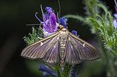 Box Tree Moth (Cydalima perspectalis), dark form, Saint-Jean-de-Buèges, France