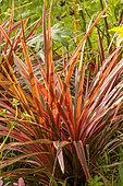 Cordyline australis 'Cherry Sensation'