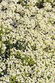 Lobularia maritima 'Wonderland White'
