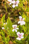 Pelargonium tricuspidatum