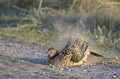 Common Pheasant (Phasianus colchicus), hen taking a dust-bath by the wayside, Dunes of Texel National Park, Texel, West Frisian Islands, Province of North Holland, Netherlands