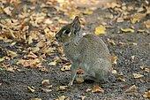Chacoan mara (Dolichotis salinicola), Lesser Mara, Pygmy Mara, adult, alert, captive, Patagonia, Argentina, South America