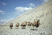 Bactrian camels (Camelus Ferus) on a scree slope in front of a scree slope at the foothills of the Hindu Kush, Khas Dej, Wakhan Corridor, Badakhshan, Afghanistan, Asia