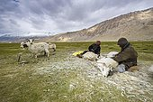 Two nomad shepherds are combing the valuable fine Pashmina wool from Pashmina Goats (Capra aegagrus hircus), Tso Moriri, Changtang area, Korzok, Jammu and Kashmir, India, Asia