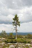Old Tjikko, the oldest tree in the world, 9550-year-old Spruce (Picea abies), Krummholz, Fulufjaellets National Park, near Saerna, Dalarna province, Sweden, Scandinavia, Northern Europe, Europe