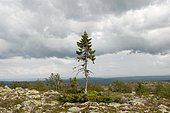 Old Tjikko, oldest tree in the world, 9550 years, Norway Spruce (Picea abies), knee timber, Fulufjället National Park near Saerna, Dalarna province, Sweden, Scandinavia, Northern Europe, Europe