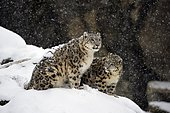 Snow leopards (Panthera uncia), captive, mother with young animal sits on snowy rock during snowfall, occurrence Himalaya, Pamir, Hindukush, Altaj, Nepal, India, Tibet, Russia, Europe