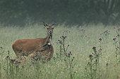 Red deer (Cervus elaphus) Hind and fawn, Ardennes, Belgium