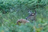 Red deer (Cervus elaphus) hindDoe in the ferns, France