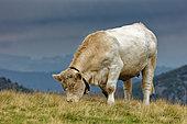Charolais cow grazing, Vosges, France