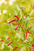 Mexican False Heather (Cuphea hyssopifolia) 'Roxy', flowers