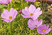 Garden cosmos (Cosmos bipinnatus) 'Sonata Pink Blush', flowers