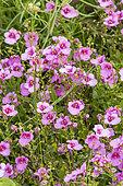 Twinspur (Diascia barberae) 'Flying Color Trailing Antique Rose', flowers