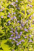 Great blue lobelia (Lobelia siphilitica) 'Blue Selection', Flowers