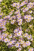 Italian Starwort (Aster amellus) 'Blue King', flowers