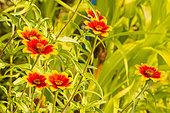 Mexican Zinnia (Zinnia haageana) Profusion 'Persian Carpet', flowers