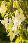 South african foxglove (Ceratotheca triloba), flowers