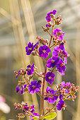 Princess Flower (Tibouchina urvilleana) 'Grandiflora', flowers