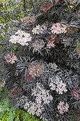 Black Elder (Sambucus nigra) 'Black Lace', in bloom