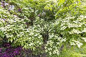 Kousa dogwood (Cornus kousa) 'Milky way', in bloom