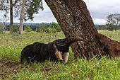 Giant anteater (Myrmecophaga tridactyla), Pantanal, Mato Grosso do Sul, Brazil.