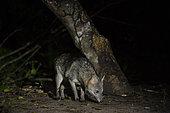 Crab-eating fox (Cerdocyon thous), Pantanal, Mato Grosso do Sul, Brazil.