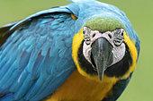 Blue-and-yellow macaw (Ara ararauna), Makaw Sinkhole, Mato Grosso do Sul, Brazil.