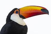 Toco toucan (Ramphastos toco), Pantanal, Mato Grosso do Sul, Brazil.