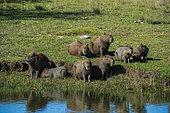 Capybara (Hydorchaeris hydrochaeris) group on bank, Pantanal, Mato Grosso do Sul, Brazil.
