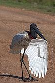Jabiru stork (Jabiru mycteria) open wing, Pantanal, Mato Grosso do Sul, Brazil.