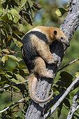 Southern tamandua (Tamandua tetradactyla) on a trunk, Pantanal, Mato Grosso do Sul, Brazil.