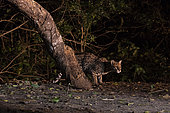 Ocelot (Leopardus pardalis) at night, Pantanal, Mato Grosso do Sul, Brazil.