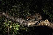 Ocelot (Leopardus pardalis) on a trunk, Pantanal, Mato Grosso do Sul, Brazil.
