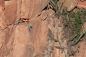 Red-and-green macaw (Ara chloropterus) on cliff, Mato Grosso do Sul, Brazil.