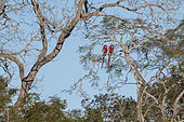 Red-and-green macaw (Ara chloropterus) pair on a branch, Mato Grosso do Sul, Brazil.
