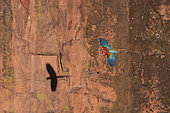 Red-and-green macaw (Ara chloropterus) in flight, Mato Grosso do Sul, Brazil.