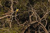 Blue-and-yellow macaw (Ara ararauna) on a branch, Makaw Sinkhole, Mato Grosso do Sul, Brazil.