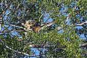 Black Howler Monkey (Alouatta caraya) group in a tree, Pantanal, Mato Grosso do Sul, Brazil.