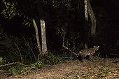 Ocelot (Leopardus pardalis), Pantanal, Mato Grosso, Brazil.