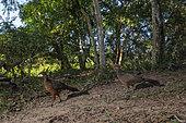 Chestnut-bellied guan (Penelope ochrogaster) pair on ground, Pantanal, Mato Grosso, Brazil.