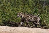 Jaguar (Panthera onca) walking on bank, Pantanal, Mato Grosso, Brazil.