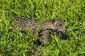 Jaguar (Panthera onca), Pantanal, Mato Grosso, Brazil.