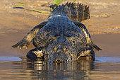Jacare caiman (Caiman yacare) on bank, Pantanal, Mato Grosso, Brazil.