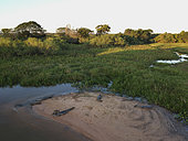 Aerial view of jacare caimans (Caiman yacare) on a beach, Pantanal, Mato Grosso, Brazil.