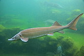 Siberian sturgeon (Acipenser baerii)