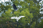 Grey heron (Ardea cinerea) and great egret (Ardea alba) in the forest, Alsace, France