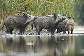 Wild boar (Sus scrofa) next to the reed bed, Alsace, France
