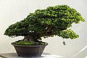 "Satsuki Azalea (Rhododendron ""Osakazuki""), 60 year old bonsai offered by the city of Hiroshima to the Montreal Botanical Garden"